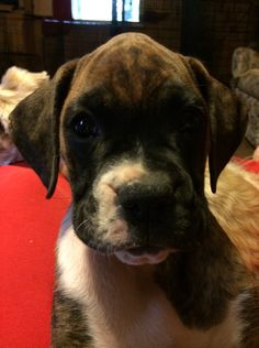 Our new boxer baby girl Ester Estell 9 weeks old