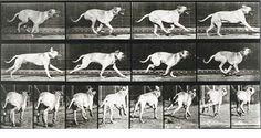 Dog Running  #muybridge animal locomotion  #sequence