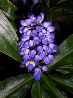 Dichorisandra thyrsiflora: blue flowered ginger plant