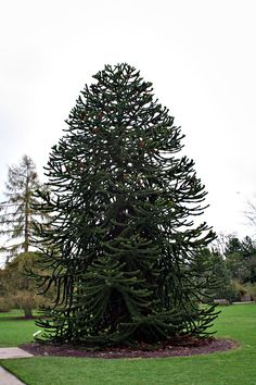 The Monkey puzzle tree; quite possible of the most beautiful and unusual tree in the world.