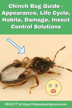 How do you deal with chinch bugs? This guide can help! Clover Plant, House Insects, Corn Plant, Bug Zapper, Life Cycles, Backyard, Patio