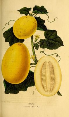 Orange melon, Vine peach - Cucumis melo chito - Annual vine - Fruit the size of an orange - Can be peeled and eaten fresh - More often used in pies, preserves and marmalades - Unripe fruit can be pickled whole - circa 1851