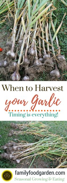 When to Harvest and How to Cure your Garlic