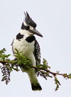 "Pied Kingfisher - Ceryle rudis.  This is the female which announces her gender through the black ""bra"" on her chest. The male has a complete stripe beneath his 'bra'             mm"