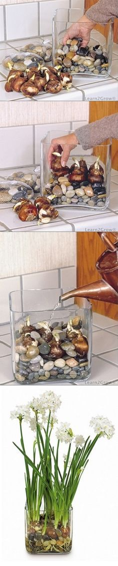 Forcing bulbs in water and rocks - In a glass container, make a bed of polished stones or glass beads. Orient each bulb with its flat side down and position it atop the stone bed. After each bulb has been seated, fill the spaces between the bulbs with more stones. Fill the container with water to slightly below the base of the bulbs.