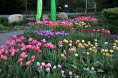 Tulipes et jardin d'accueil