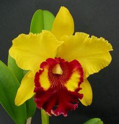 Willette Wong 'The Best' Cattleya All Flowers, Exotic Flowers, Amazing Flowers, Garden Bird Feeders, Cattleya Orchid, Paradise Garden, Orchids Garden, Ornamental Plants, My Secret Garden