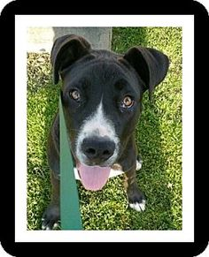Winchester, CA - Great Dane/Pit Bull Terrier Mix. Meet JAKE, a puppy for adoption. http://www.adoptapet.com/pet/17930317-winchester-california-great-dane-mix