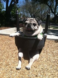 Pug In A Swing |  #animals #pug #dog. this looks so much like our Daisy!