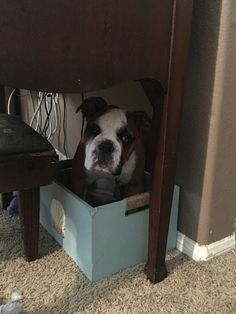 Bulldog in a box, better then any jack in the box, lol