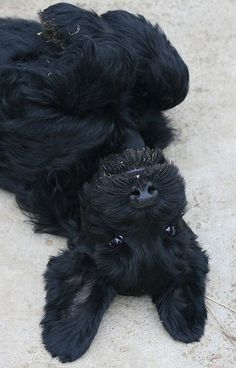 Upside-down black schnauzer!: