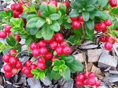 Brusnica pravá Vaccinium vitis-idaea, lingonberry, preiselbeere