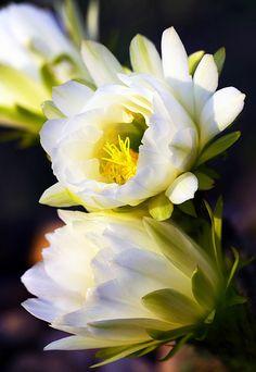 ~ Cactus Flowers