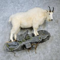 This flawless mountain goat taxidermy mount is for sale and ready for your diorama @thetaxidermystore.com