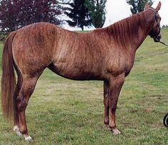 Brindle coat: rare on horses.actually this is chimera and it cannot be bred for this result All The Pretty Horses, Beautiful Horses, Animals Beautiful, Brindle Horse, Rare Horse Colors, Kiger Mustang, Dun Horse, American Quarter Horse, Quarter Horses