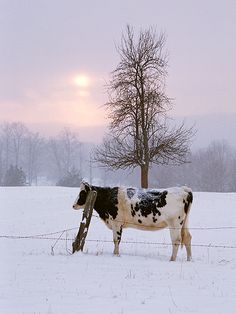 The Cow - farm - ferme - granja - vaca - vache Snow Scenes, Winter Scenes, Country Farm, Country Life, Country Living, Country Roads, Beautiful Creatures, Animals Beautiful, Farm Animals
