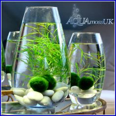 "5 Small Japanese Lucky Moss Balls ""Marimo"" Unique and RARE Live Plant Great Gift 