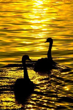 Swans on a golden lake.