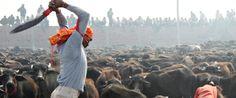 Animal Slaughter Ban At Gadhimai: What We Must Do Next