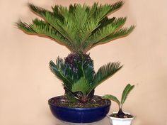 Bonsai Plants, Bonsai Garden, Cactus Plants, Fake Plants Decor, Plant Decor, Palm Garden, Sago Palm, Ornamental Plants, Beautiful Fish