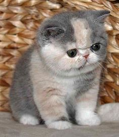 exotic shorthair kittens - if i owned this cat, i would NEVER be able to stop la...