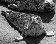 Seal pup on the birthing beech, Saturna Island, BC, by Maureen Welton Seal Pup, Back Tattoo, British Columbia, Islands, Creatures, Tattoos, Travel, Animals, Tatuajes