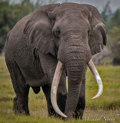 Craig, one of the big boys from Amboseli, Kenya. African Forest Elephant, Asian Elephant, Elephant Love, Elephant Art, African Safari, Elephant Photography, Wildlife Photography, Animal Photography, All About Elephants