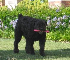 """""""A Dirty Pure Breed Owner"""" - Living in Los Angeles while owning a Bouvier des Flandres was no easy task. You'll see http://huff.to/11QT0nI"""