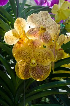 Orchid farm, Chiang Mai, Thailand