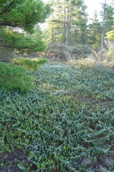 Native Plants That Grow Well Under Pines List Of Flowers Home Landscaping Lake Michigan