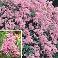 Dwarf Josee Reblooming Lilac want! Garden Shrubs, Flowering Shrubs, Landscaping Plants, Landscaping Ideas, Perennial Bushes, Hillside Garden, Garden Pond, Garden Art, Garden Plants