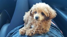Toy Poodles, Standard Poodles, Poodle Mix, Cute Dogs, Kittens, Miniature, Puppies, Diy Dog, Animals