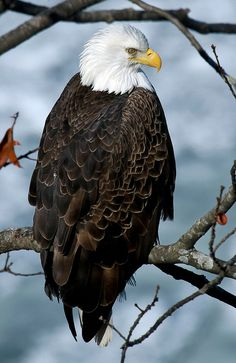 Sounds of one the deadliest and most beautiful birds in the world, the eagles! Eagle is a common name for some members of the bird family Accipitridae. Pretty Birds, Love Birds, Beautiful Birds, Animals Beautiful, The Eagles, Bald Eagles, Mundo Animal, All Gods Creatures, Birds Of Prey