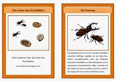 krabbelwiese: Hirschkäfer