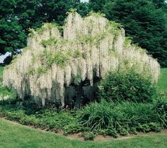 I'm going to plant several of these this year. Love the white. Wisteria Tree, White Wisteria, Beach Gardens, Outdoor Gardens, White Gardens, Lawn And Garden, Garden Art, Texas Gardening, Greenhouse Gardening