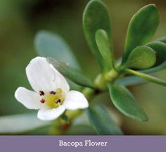 """Bacopa – Brahmi Ayurvedic Herb :A medicinalplant that is often used in ayurvedic medicine, the traditional healing system of India. (Be careful not to confuse brahmi (Bacopa monnieri) with gotu kola and other natural medicines that are also sometimes called brahmi). This herb is said to be an """"excellent rejuvenative for the mind and nervous […]"""