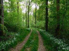 The bluebells are nearly gone but the sight and smell of wild garlic is rather lovely