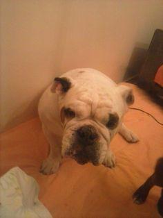 rosie the english bulldog of Athens