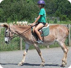 Quakertown, PA - Donkey/Mule/Burro/Hinny Mix. Meet Delores a Pet for Adoption.
