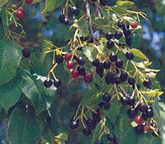 Velespit.Net - Yenilebilir Yabani Meyveler ve Yemişler