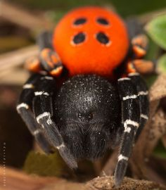 Lady bird spider (Eresus cinnaberinus)  Beautiful photo and I never EVER wish to encounter it in real life... FREAKY~