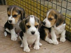 Are you interested in a Beagle? Well, the Beagle is one of the few popular dogs that will adapt much faster to any home. Whether you have a large family, p Beagle Facts, Beagle Funny, Beagle Dog, Pet Dogs, Cute Beagles, Cute Puppies, Dogs And Puppies, Bulldog Breeds, Dog Care