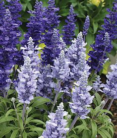 Salvia, Cathedral™ Deep Blue