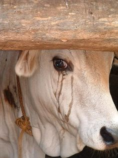 "Whether you can visibly ""see"" their tears or not…the animals are feeling fear, sadness, and desperation when they are about to be harmed or killed… ""Tears always speak the same language…… It isn't about you, your rights, your personal choice or your freedom. It is about them. Go vegan."""