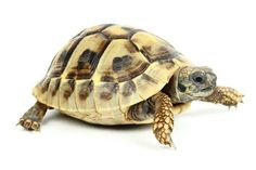 Baby Sulcata Tortoise 2 To 3 Inch Tortoise Cage, Cute Tortoise, Baby Tortoise, Sulcata Tortoise, Tortoise Turtle, Tortoise Food, Tortoise Shell, Reptiles, Russian Tortoise