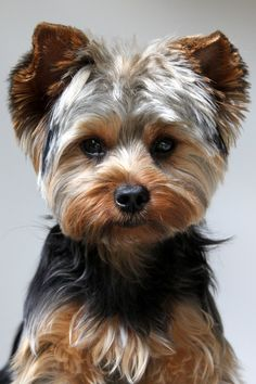 Oliver is so handsome with his new haircut! #yorkie #puppy Bits and Pieces | handsome guys picture handsome haircuts