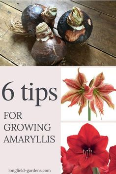 Growing an #amaryllis requires no special skills. In fact, once a bulb is ready to bloom, it will #flower with or without you! But here are a few tips that will help you get the best possible results from these impressive, winter-blooming bulbs.