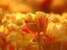 тюльпаны - Поиск в Google
