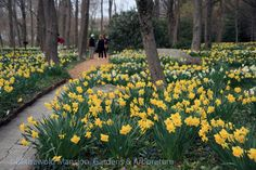 The Bosquet full of daffodils and visitors! (April, 18, 2013)