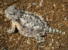 What is a Horny Toad? It's actually not a toad, but a spiny lizard that is often called Horned Lizard, Horny Lizard and Horned Lizard. Species located in Arizona are referred to as the Desert Horned Lizard. Lizard Food, Texas Animals, Wild Animals, Horned Lizard, Lizard Tattoo, Dinosaur Age, All Gods Creatures, Sea Creatures, Animal Facts